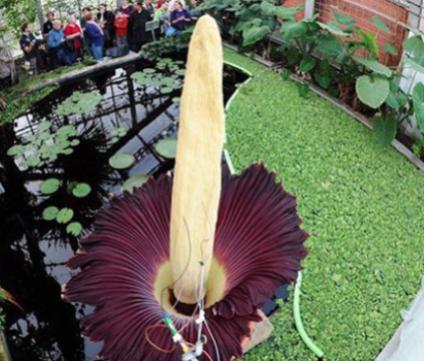 La flor más apestosa del mundo.png