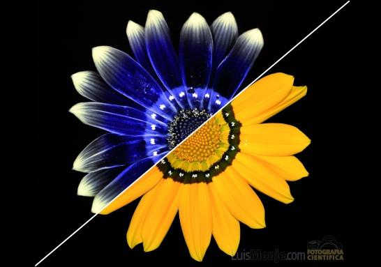 _7084 Gazania X splendens v5-01.jpg